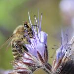 Biene auf Blüte sitzend